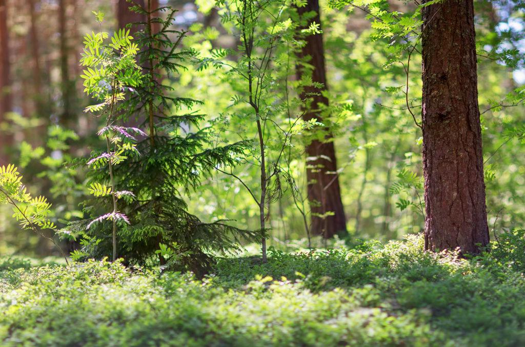 gruener mischwald durch den die sonne scheint mit vielen alten und jungen baumstaemmen